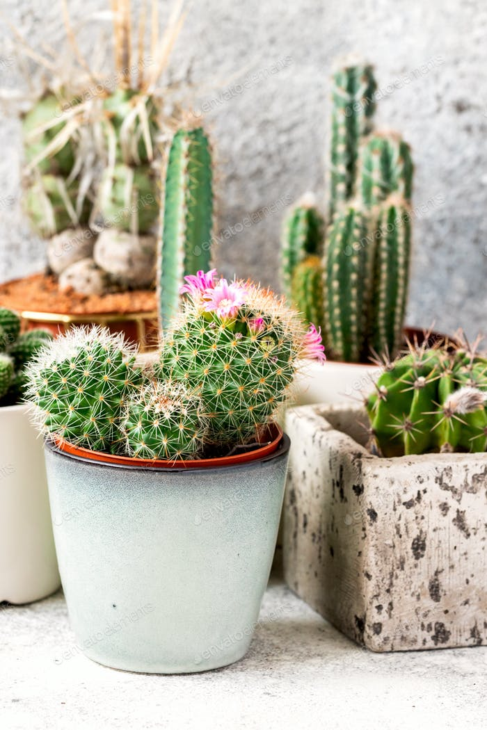 Collection of various cactus and succulent plants in different pots. Potted cactus house plants .