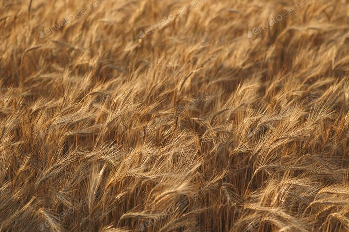 Golden field of wheat background. Harvest of wheat