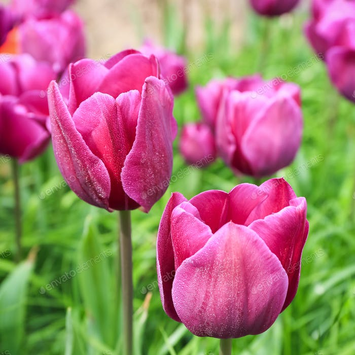 closeup of the purple tulips