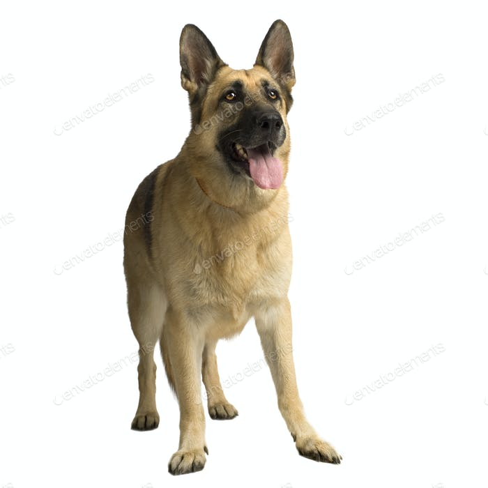 german shepherd / alsatian, police dog ( 6 years )