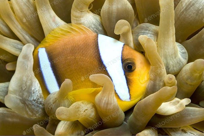 Rotes Meer Clownfisch, Zwei Gebänderte Anemonen, Rotes Meer, Ägypten