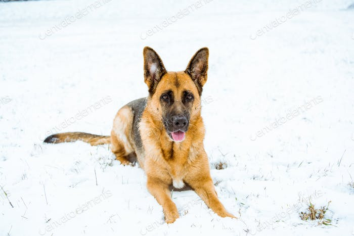 German shepherd dog lying in snow