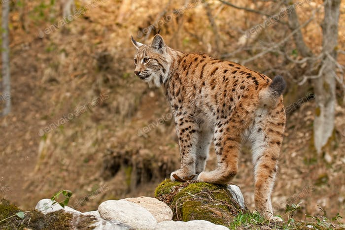 Eursian lynx standing on a rock in autmn forest with blurred background