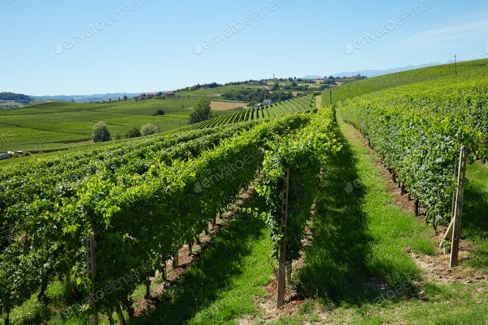 Green vineyards in a sunny day, blue sky