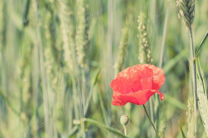 Poppy flower retro peaceful green background