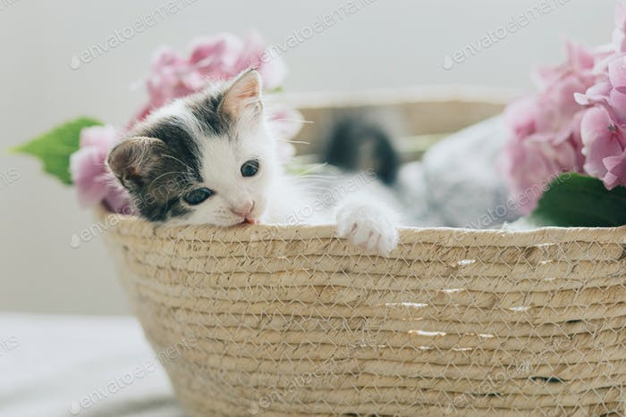 Cute little kitten relaxing in basket with pink flowers. Adorable curious kitty with hydrangea