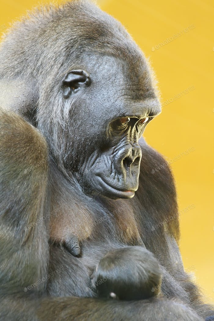 Gorilla with her young portrait