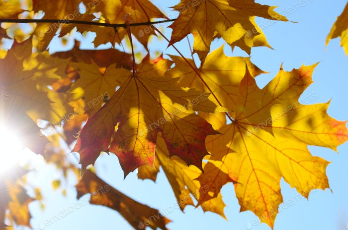 Yellow and Red maple leaves during fall season against sunny blu
