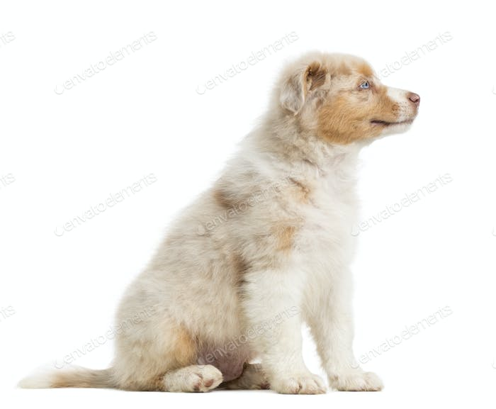 Side view of an Australian Shepherd puppy, 8 weeks old, sitting and smiling against white background