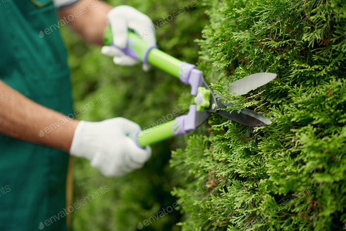 Scissors in gardener hands cutting overgrown bushes