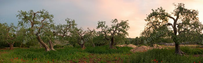 Olive tree grove in panorama
