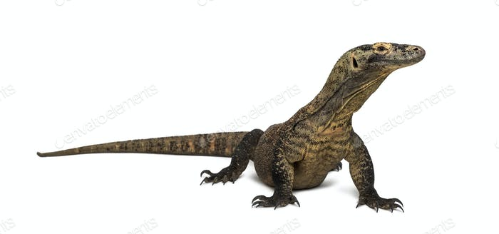 Komodo Dragon looking away, isolated on white