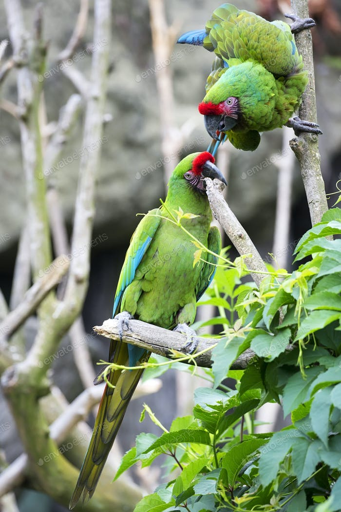 Green parrots on a tree