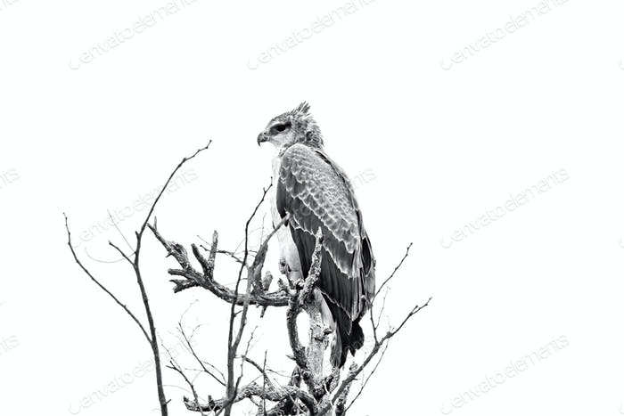 Martial eagle in a tree, looking to the left. Monochrome