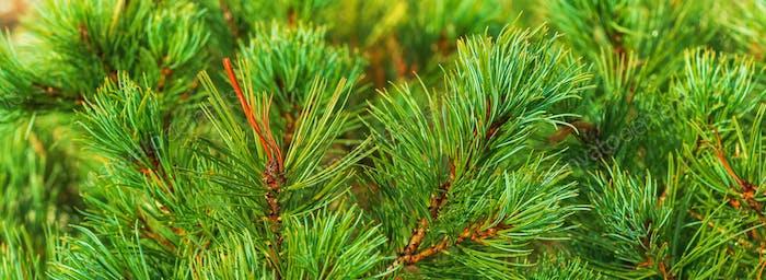 Nadeln von Strauch Japanische Stein Kiefer Pinus Pumila. Nahansicht Blumenhintergrund Banner für Design