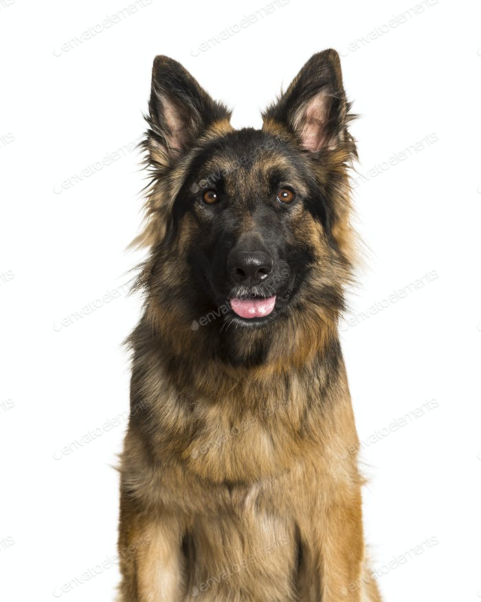 Deutscher Schäferhund vor weißem Hintergrund