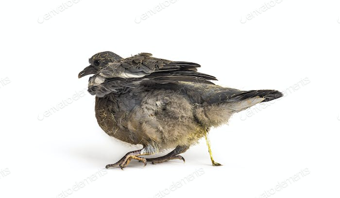 Young domestic pigeon pooing, against white background