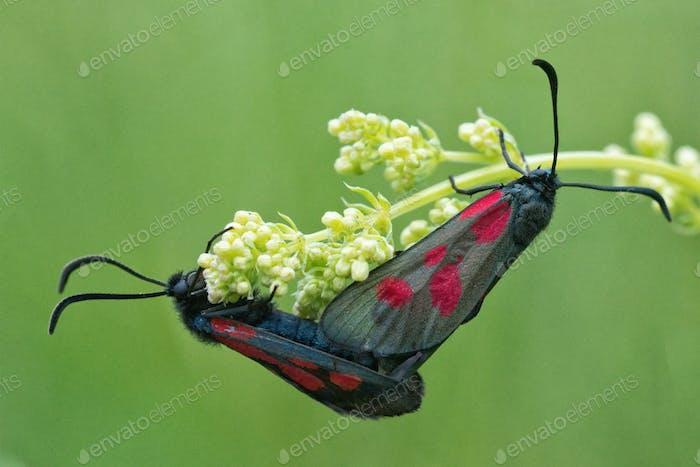 Dos burnets (Zygaena) sentado en flor