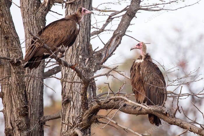 Vulture - Okavango Delta - Moremi N.P.