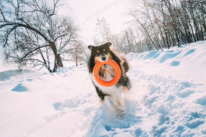 Funny Young Shetland Sheepdog, Sheltie, Collie Playing With Ring Toy Outdoor In Snowy Park, Winter