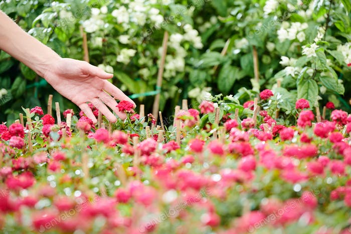 Woman touching blooming flowers