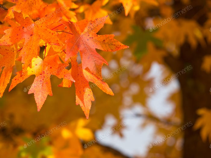 Autumnal foliage