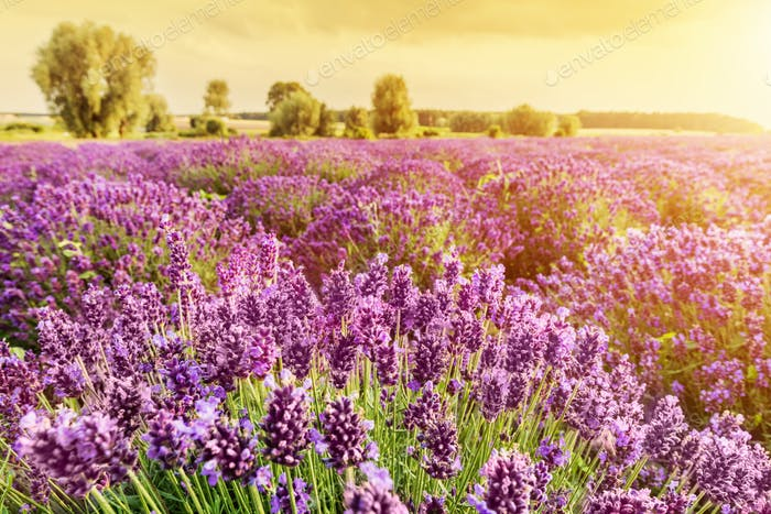 vender flower field landscape at sunset