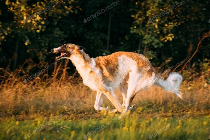 Russian Dog, Borzoi Fast Running In Summer Sunset Sunrise Meadow