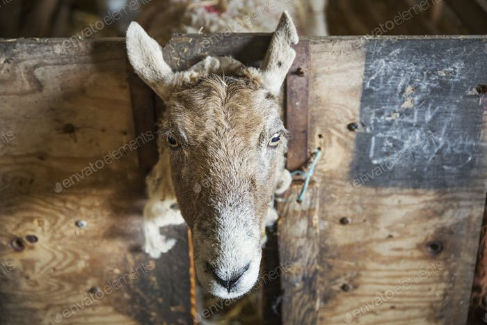 Sheep looking at the camera through a gap in a wooden pen in a stable.