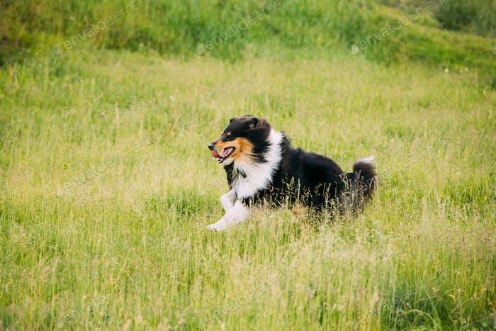 Shetland Sheepdog, Sheltie, Collie. Play Run Outdoor In Summer G