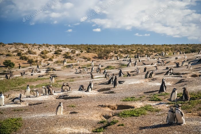 Penguins and their nests
