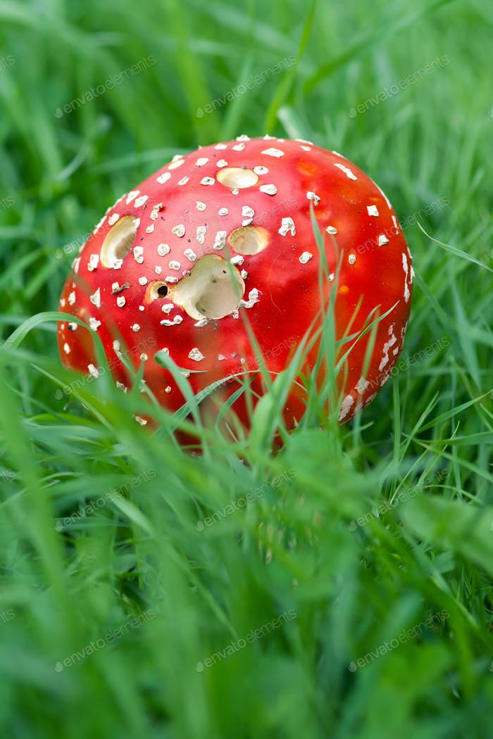 Amanita Muscaria in green grass