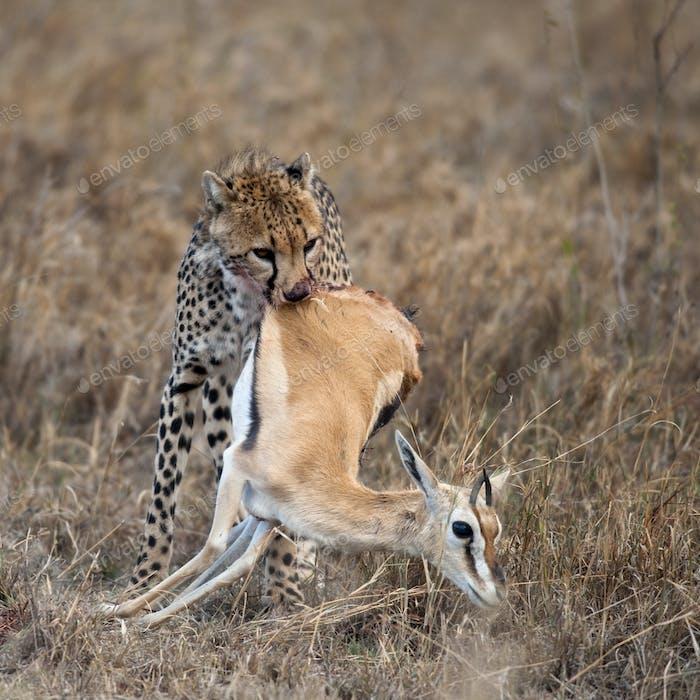 Cheetah carrying prey, Serengeti National Park, Tanzania, Africa