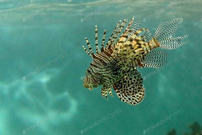 Scorpionfish in the sea