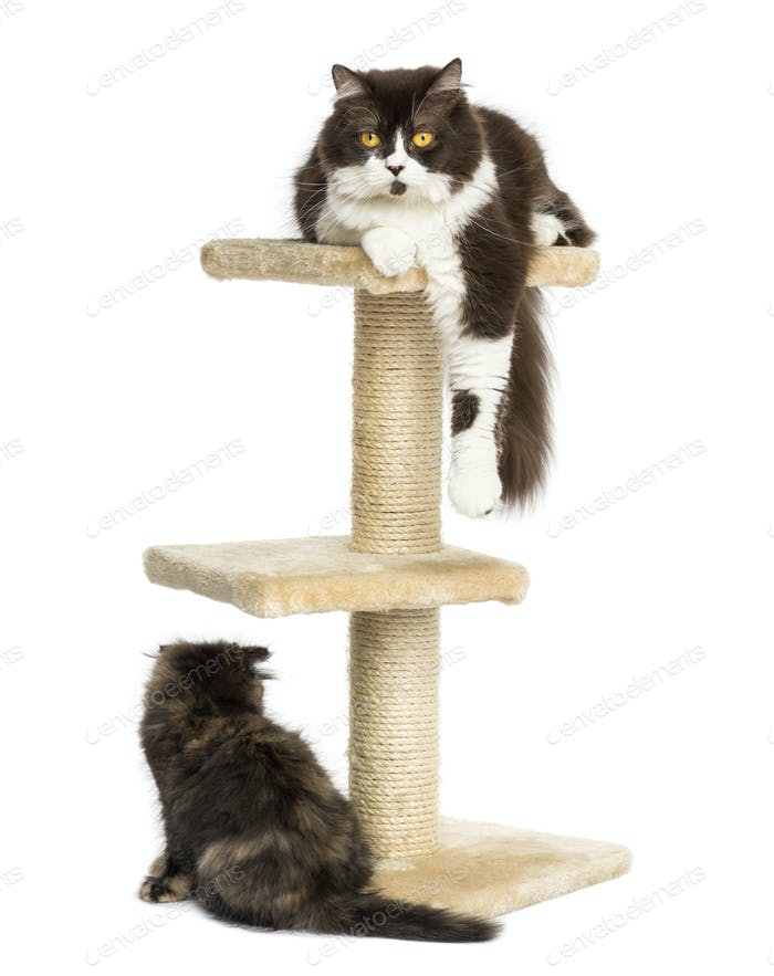 Cats on a cat tree, isolated on white