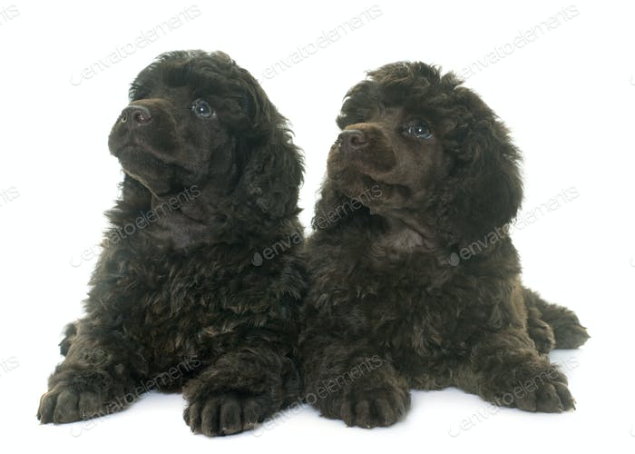 puppies brown poodles