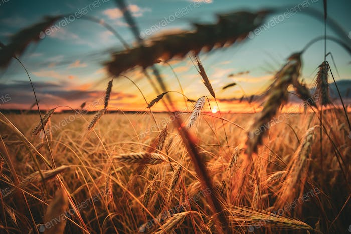 Wheat Field. Yellow Barley Field In Summer Season. Agricultural