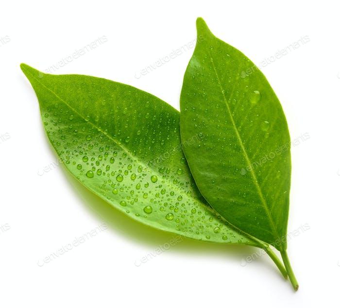 мокрые зеленые листья