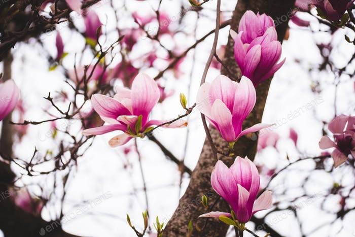 Pink flowers magnolia on a tree branches