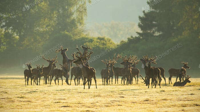 Red deer stags standing and fighting with legs on a meadow in the morning