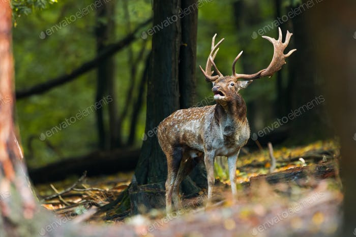Fallow deer stag roaring in its territory in the forest in rutting season