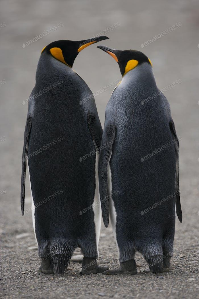 Zwei erwachsene King Pinguine, nebeneinander stehend, Schnabel zum Schnabel auf South Georgia Island