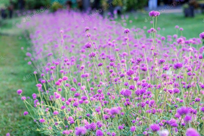 Purple flower on lawn