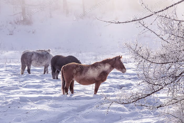 Horses stay and relax in the snowy woods in winter