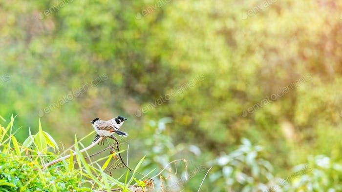 Pycnonotus Aurigaster Birds