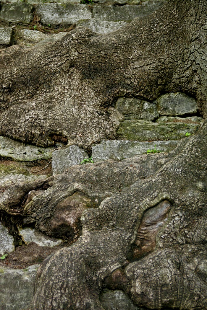 Tree root background. Close up.