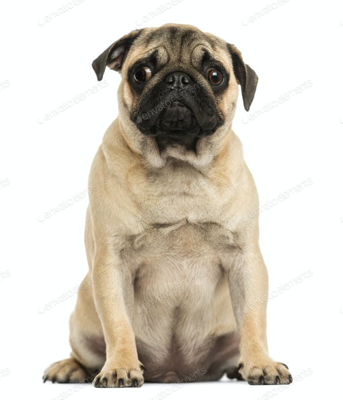 Front view of a Pug puppy sitting, 6 months old, isolated on white