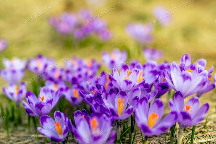 Crocus closeup over green grass, flowers landscape