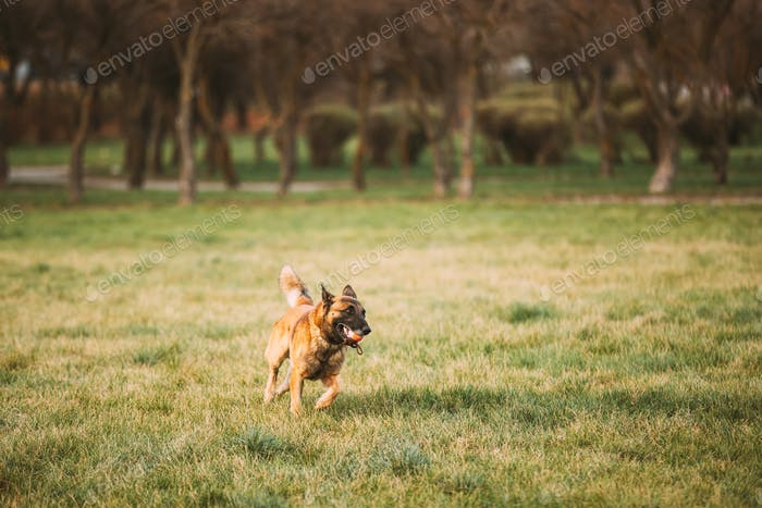 Malinois Dog Play Running With Ball Toy Outdoor In Park. Belgian Sheepdog Are Active, Intelligent