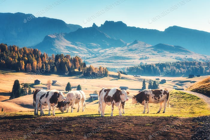 Beautiful cows and calves on the meadow with green grass